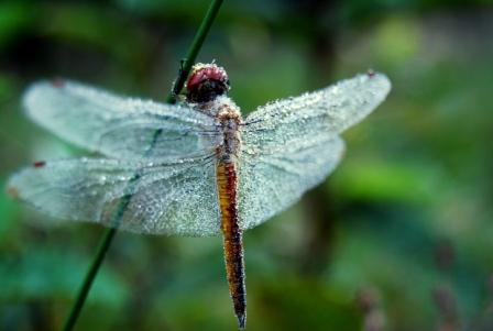dragon fly-prabu web